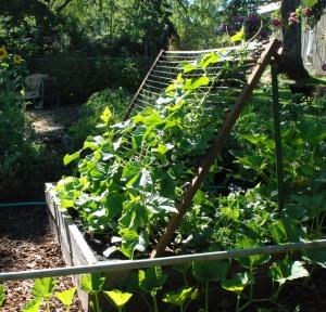 cucumbers climbing