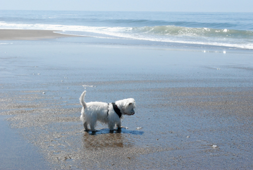 terrier at beach