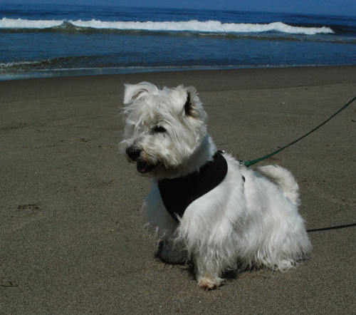 Westie at the beach