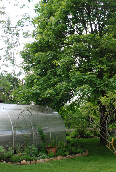 maple tree shades the Riga greenhouse