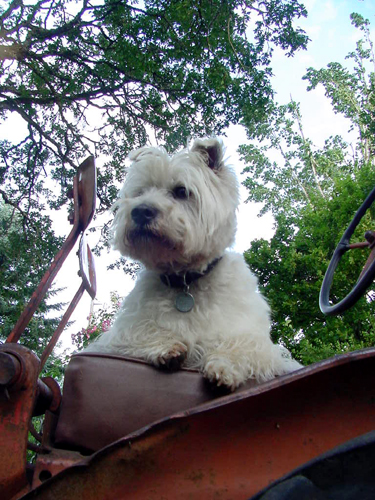 Max the Westie on the tractor
