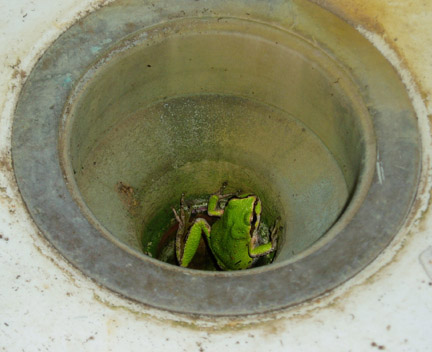tree frog living in greenhouse sink