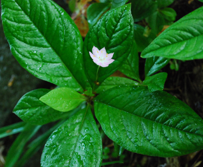 Starflower, Trientalis borealis ssp. latifolia