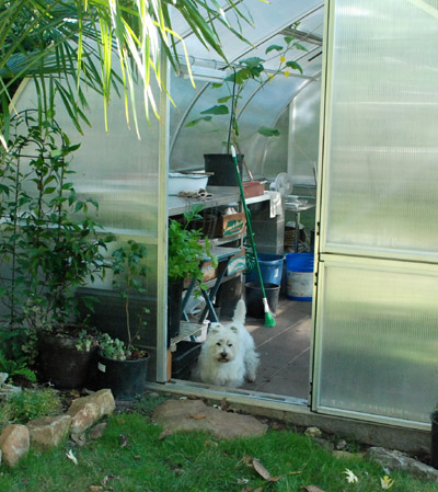 Westie in greenhouse