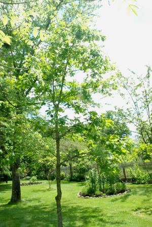 best young oak