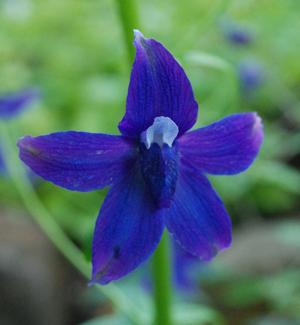 Delphinium trollifolium close