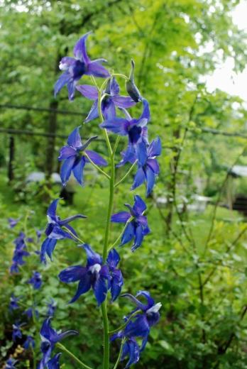 Delphinium trollifolium June