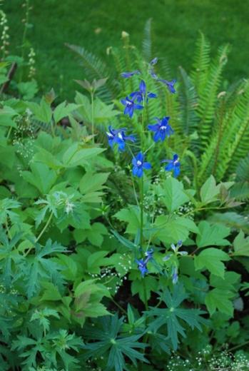 Delphinium trollifolium