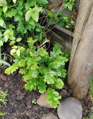 volunteer oak tree by fence