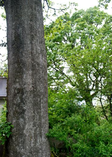 oak trunk & oak