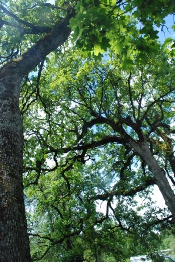 ancient oak trees
