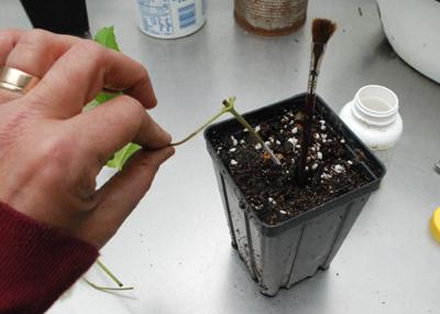 planting clematis cutting