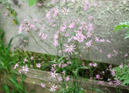 Ragged Robin blooms by fence