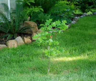 little white oak tree