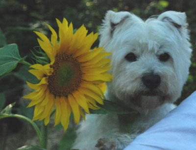 sunflower and Westie