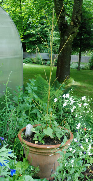 black-eyed-susan vine & bamboo to climb