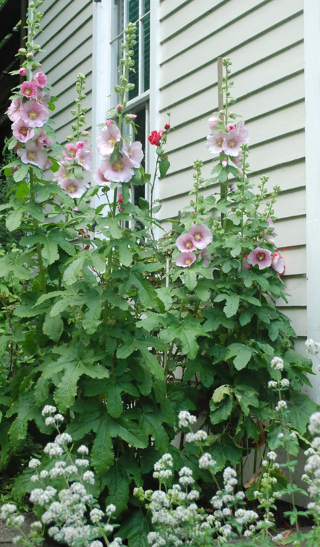 Pink single hollyhocks