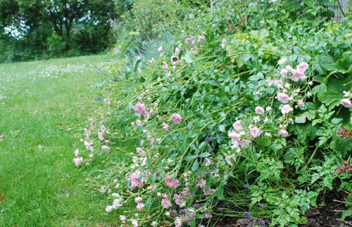 fairy roses in the rain
