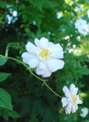 Garland blossom