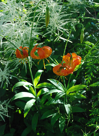 leopard lilies and goatsbeard