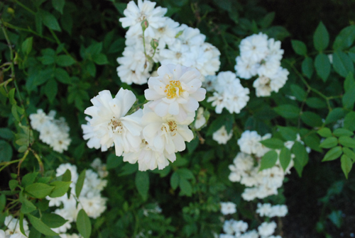 The Garland rose blooms