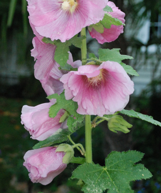 single pink hollyhock