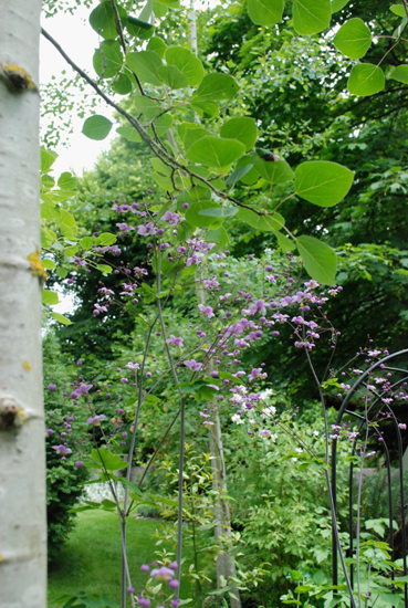 tall Thalictrum blooms