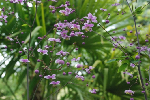 Thalictrum round blooms