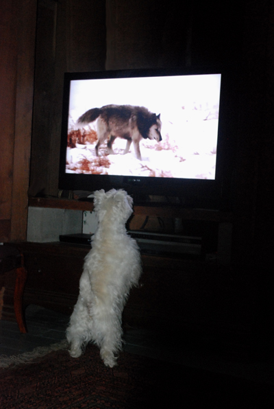 Westie watches tv
