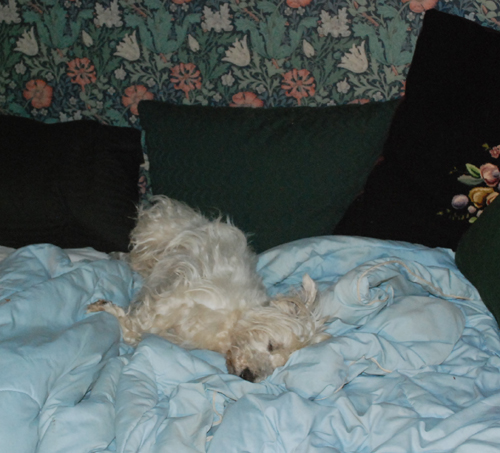 terrier napping