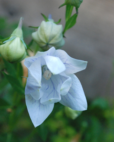 balloon flower open