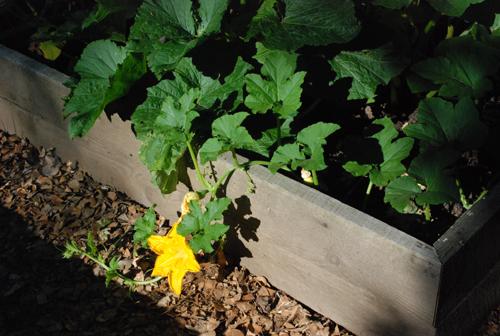 pumpkin blosssom