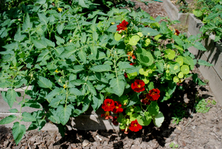 tomato and nasturtiums