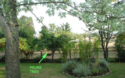 prune tree