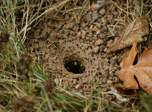 yellow jacket ground nest