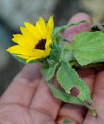 tiny sunflower