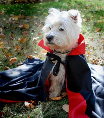 Dracula Westie