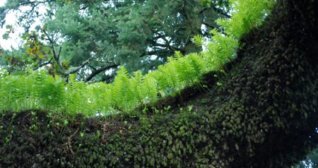 licorice fern on oak limb