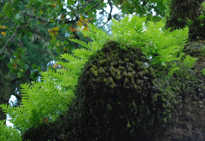 Licorice fern in oak