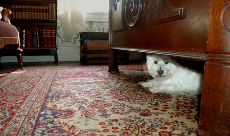 westie under the bed