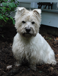 terrier in the rain
