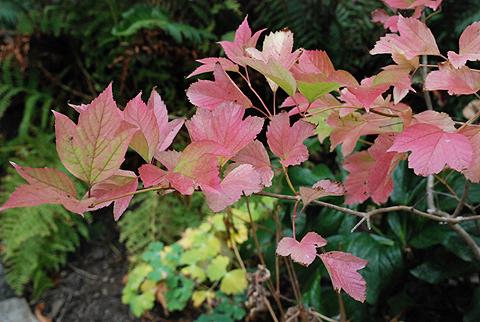 Oregon viburnum