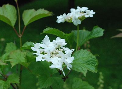 Oregon viburnum summer