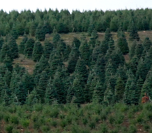 Christmas trees in the field