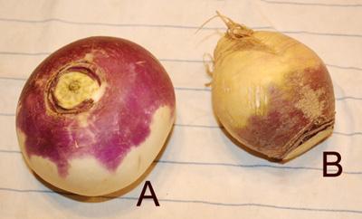 neep or turnip