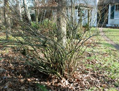 spirea bush