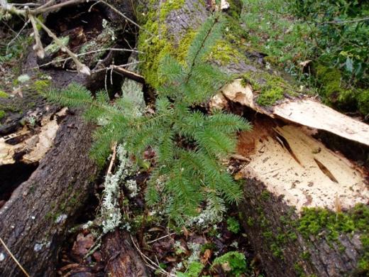 lucky fir tree