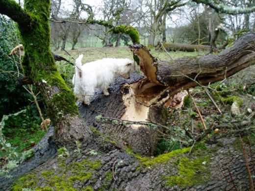 Max and the fallen oak