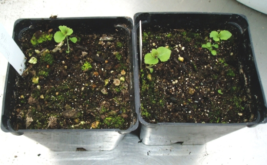 balloon flower seedlings?