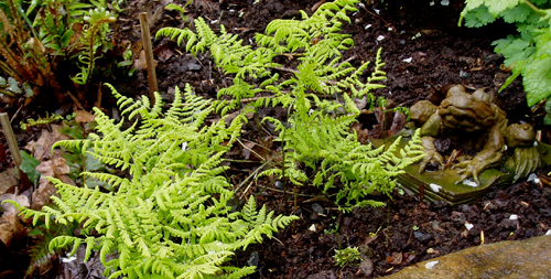 Gymnocarpium dryopteris or Oak Fern